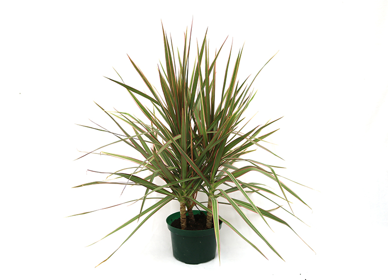 dracaena palm house plant in a green container
